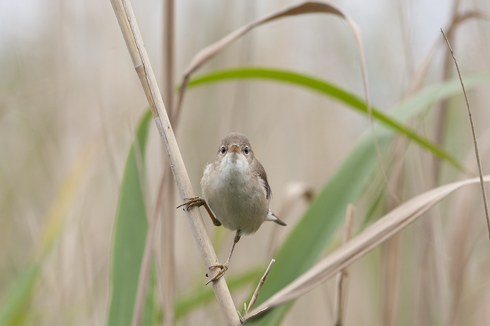 REE1320 Reed Warbler