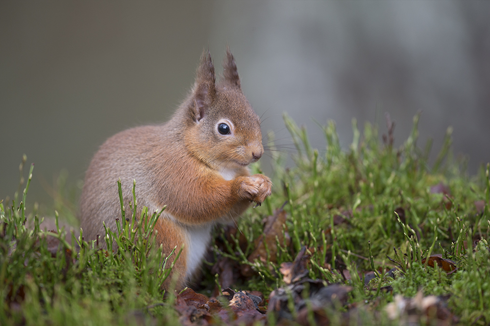 SQU2960 Red squirrel