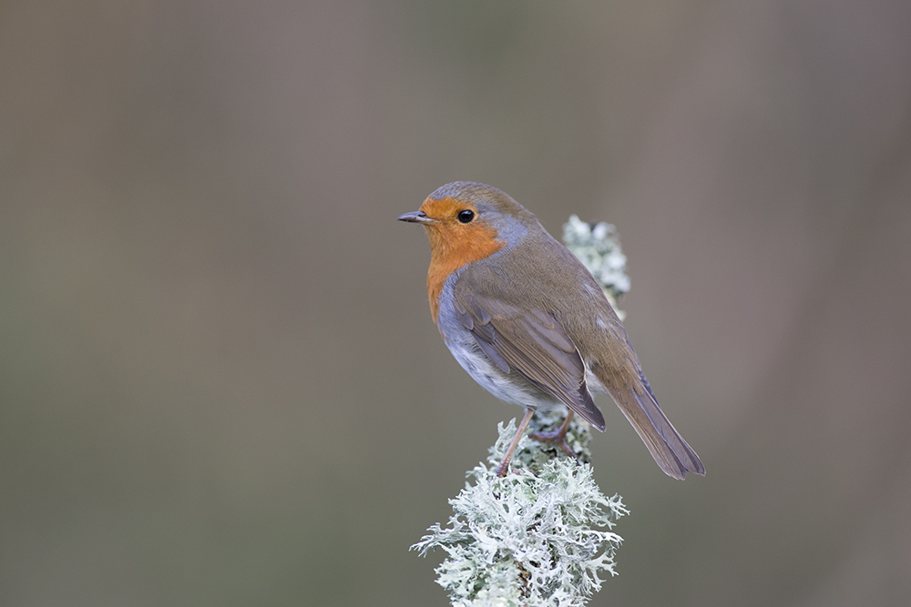 ROB5895 Robin