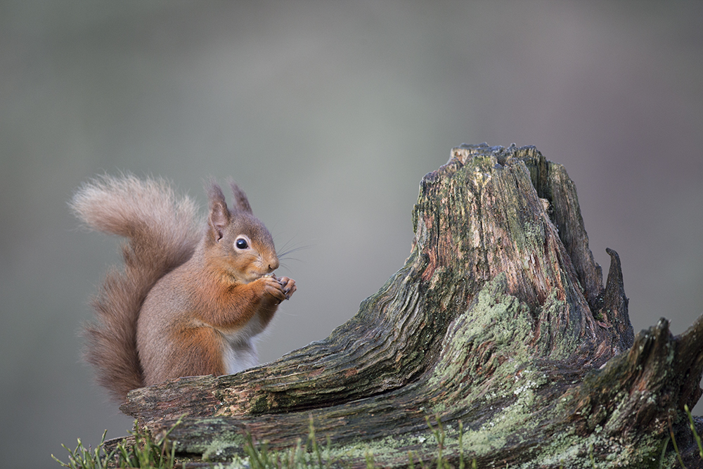 SQU8101 Red squirrel
