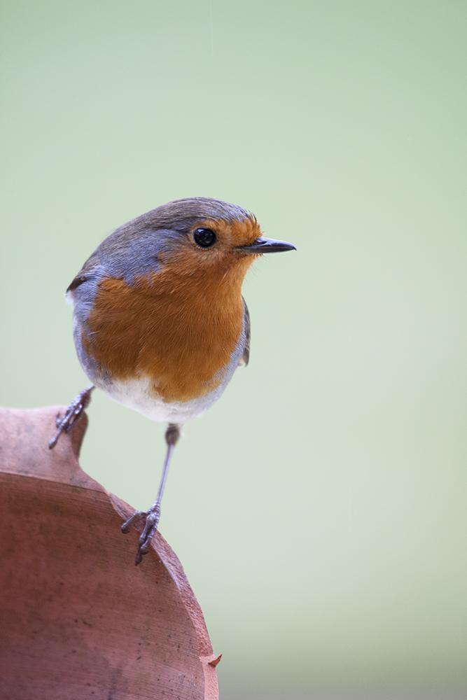 ROB1026 Robin
