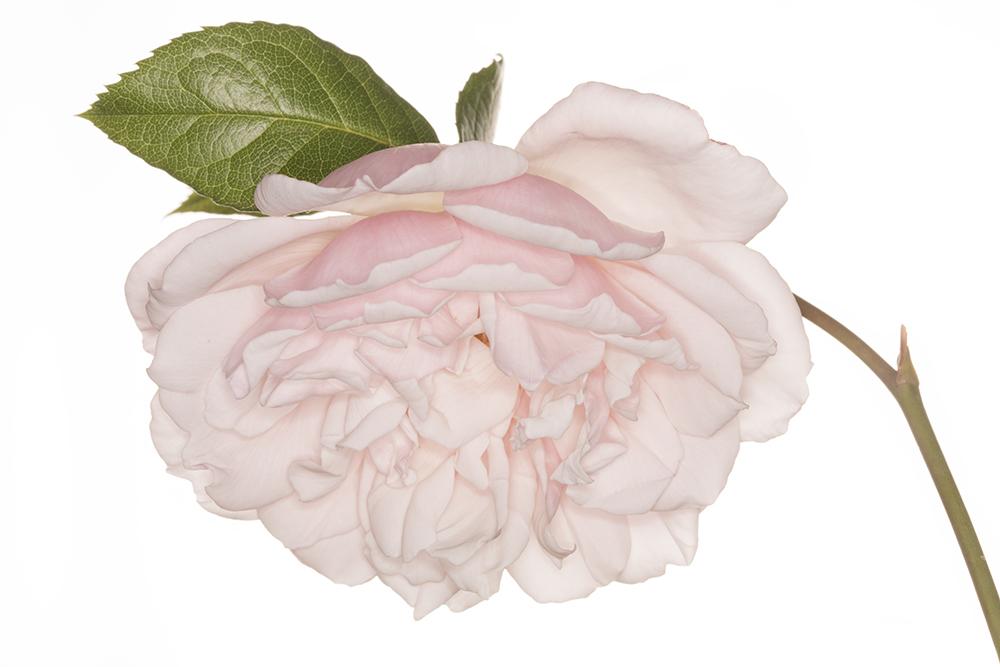Rosa 'Coconut Ice'