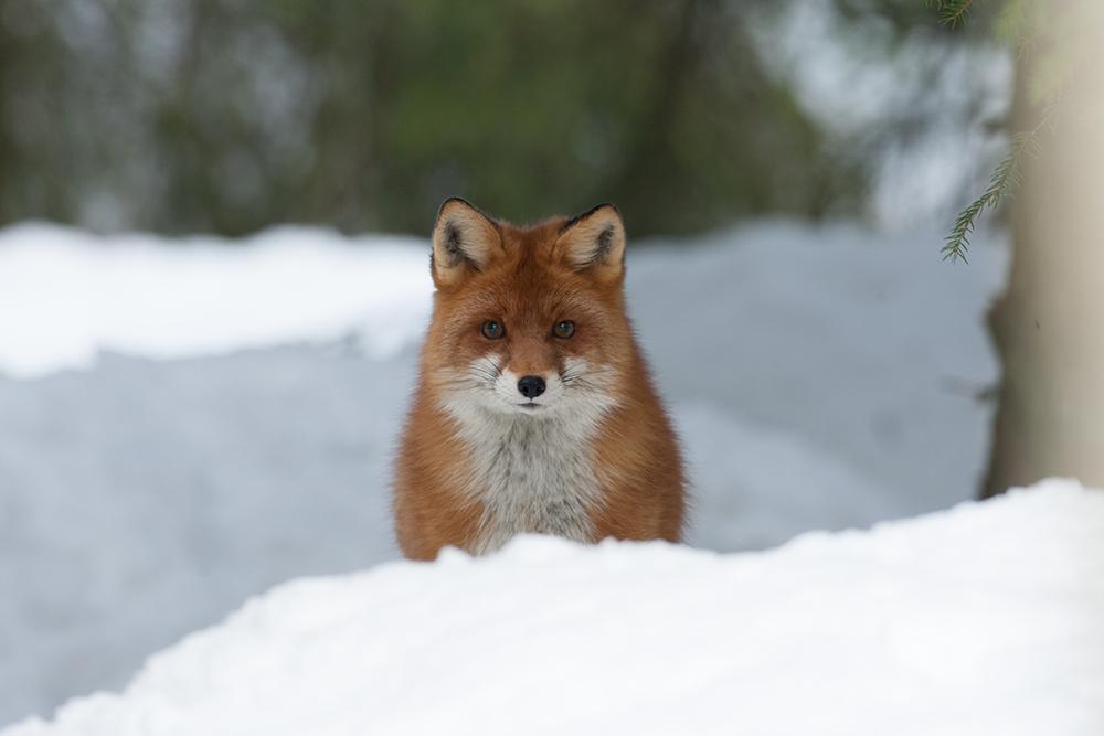 FOX9225
