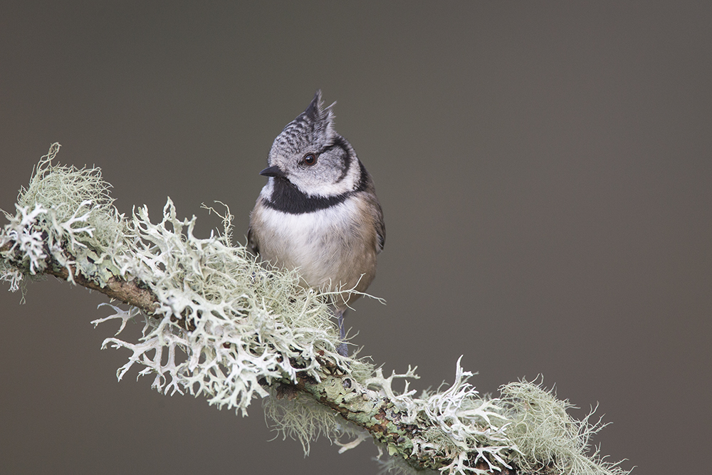 CRE8792 Crested Tit