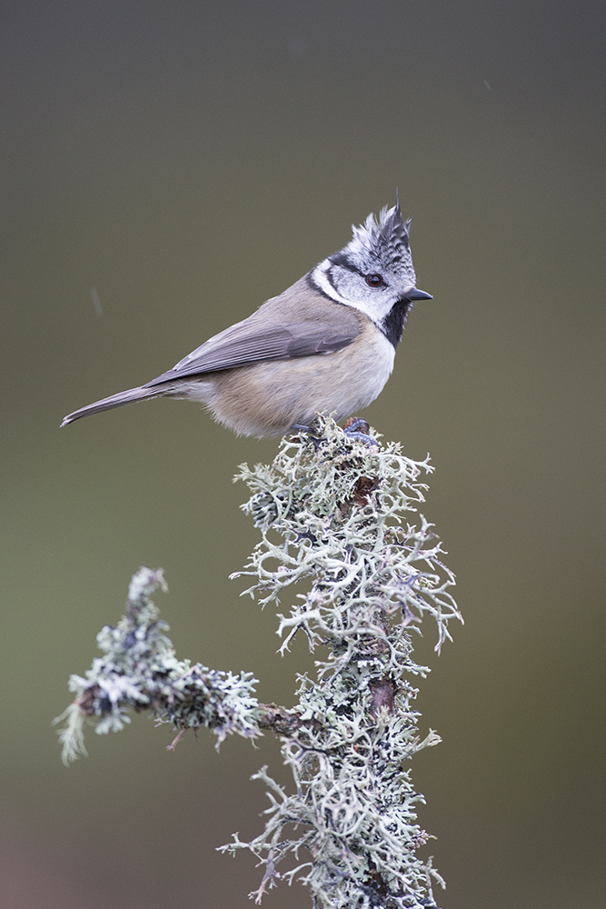 CRE3317 Crested Tit