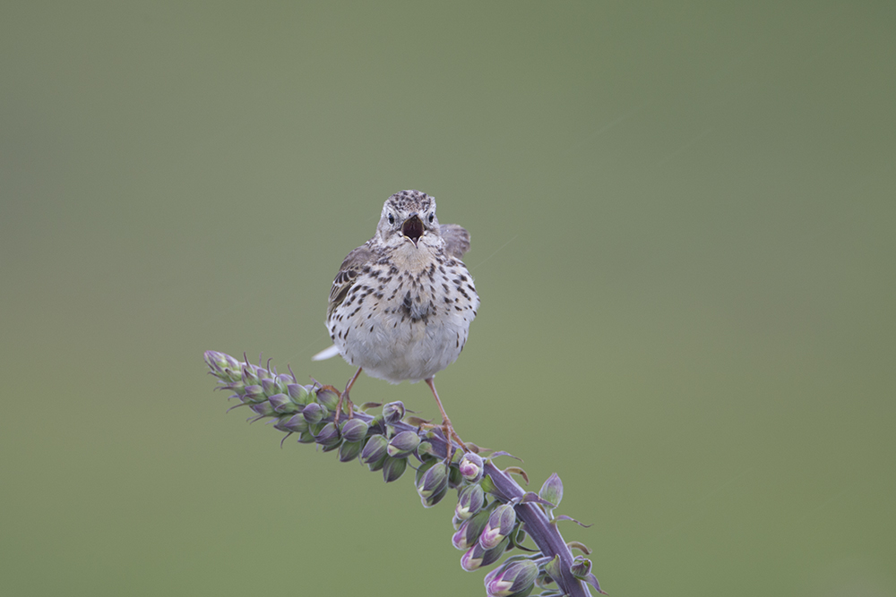 PIP2532 Meadow Pipit