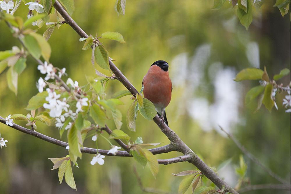 BUL7346 Bullfinch