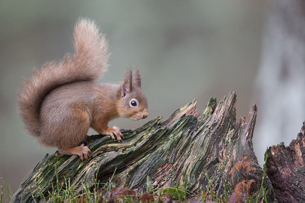 SQU2898 Red squirrel