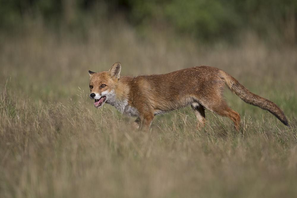 FOX1832