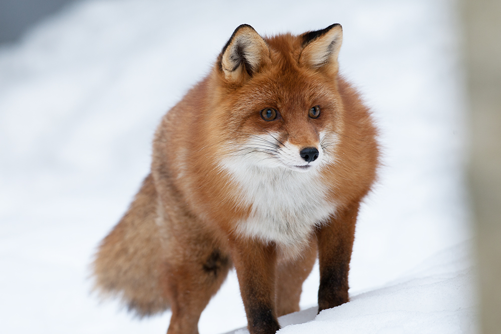 FOX9236
