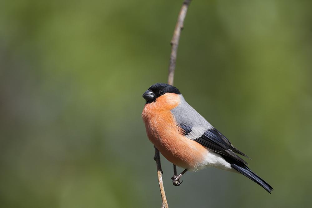 BUL7522 Bullfinch