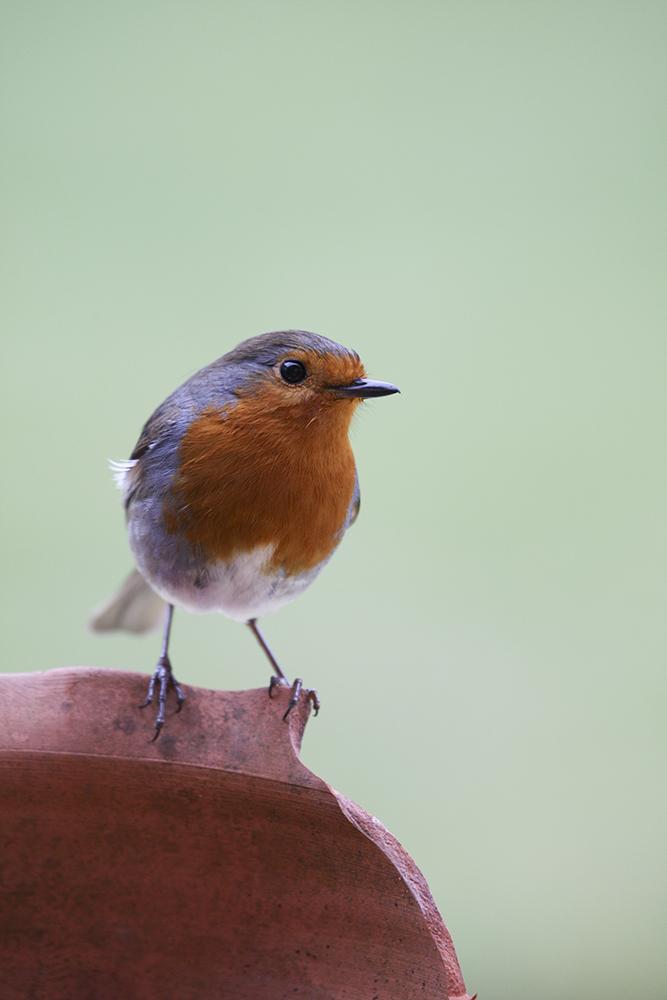 ROB1014 Robin