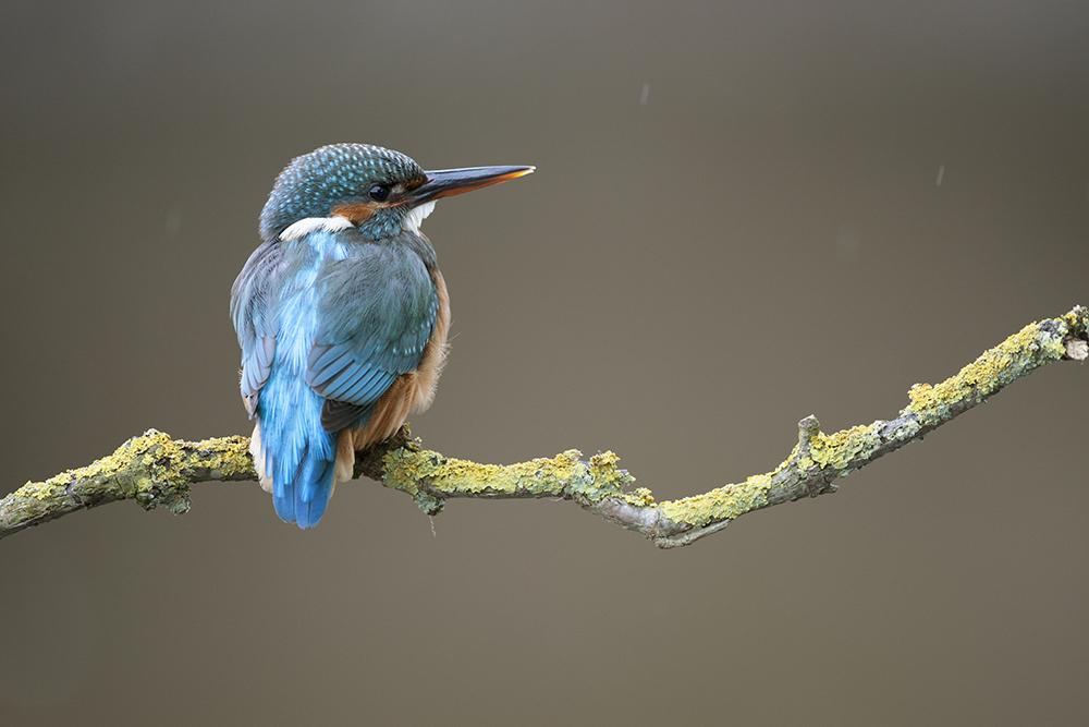 KIN4577 Kingfisher