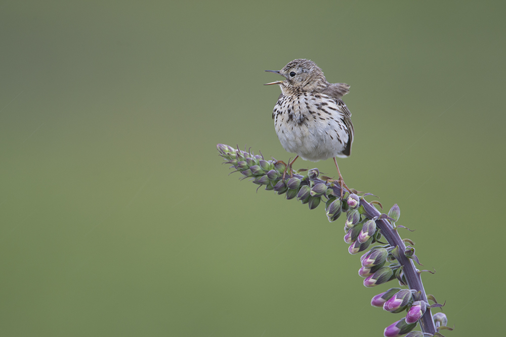 PIP2545 Meadow Pipit