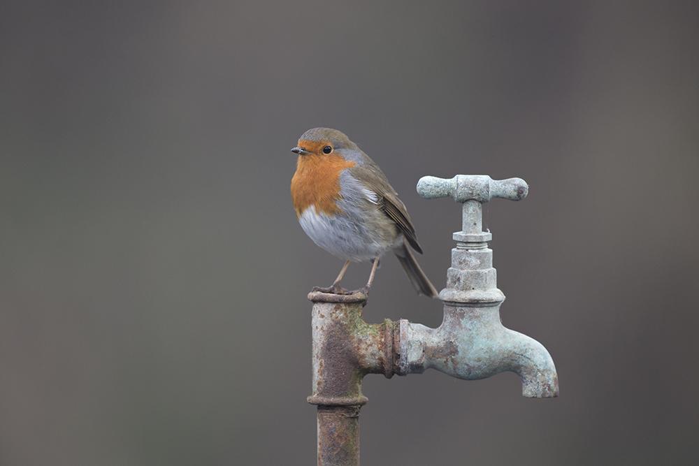 ROB6318 Robin