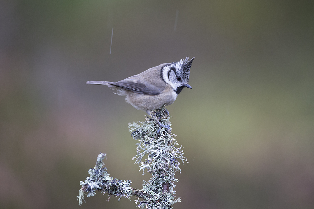 CRE3210 Crested Tit