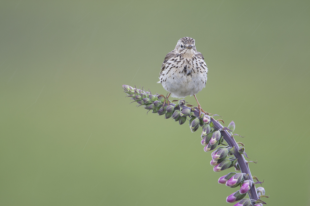 PIP2557 Meadow Pipit