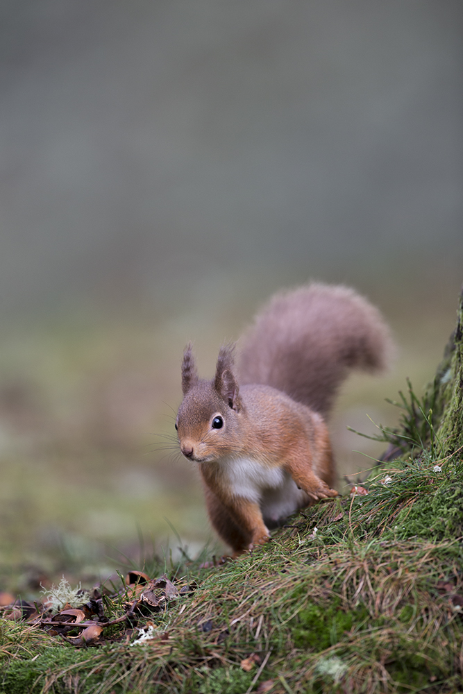 SQU2940 Red squirrel