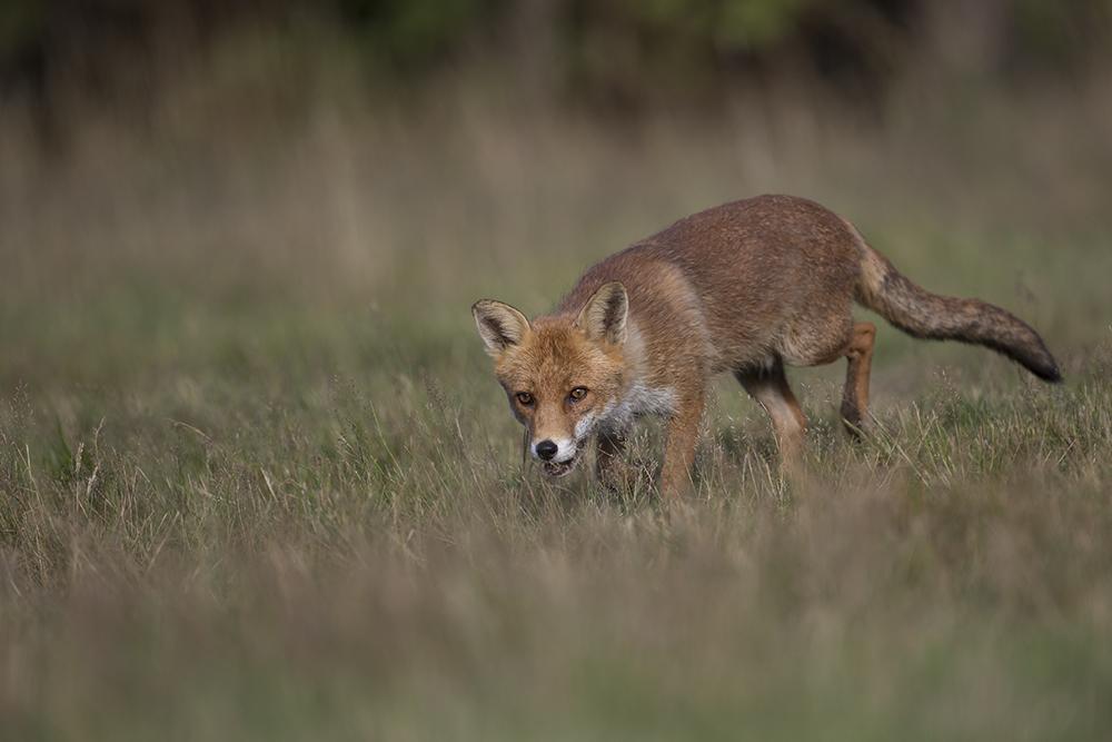 FOX1852