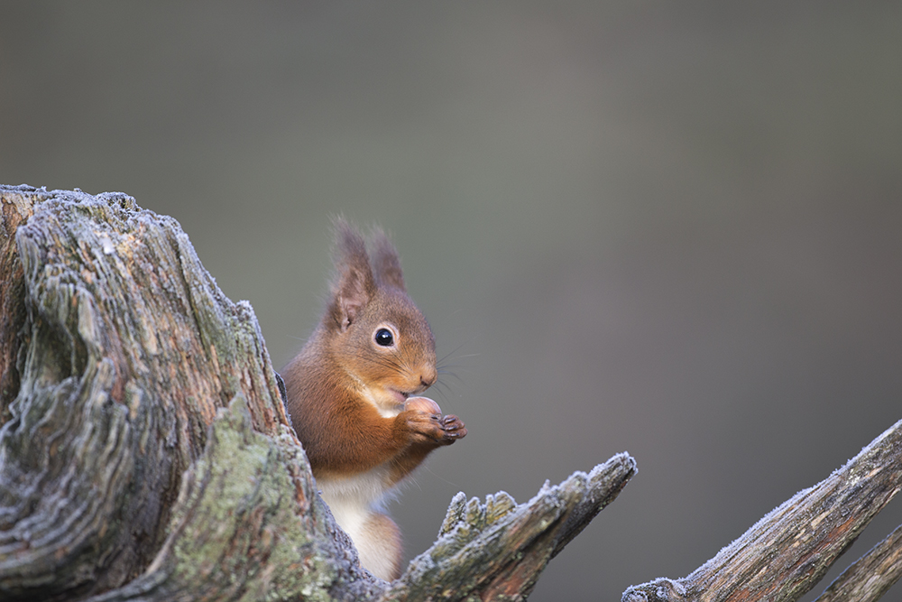 SQU8881 Red squirrel