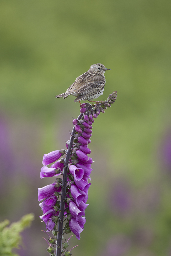 PIP2470 Meadow Pipit