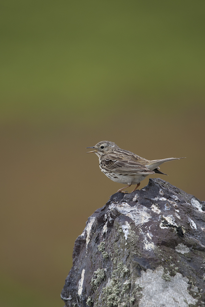PIP2454 Meadow Pipit