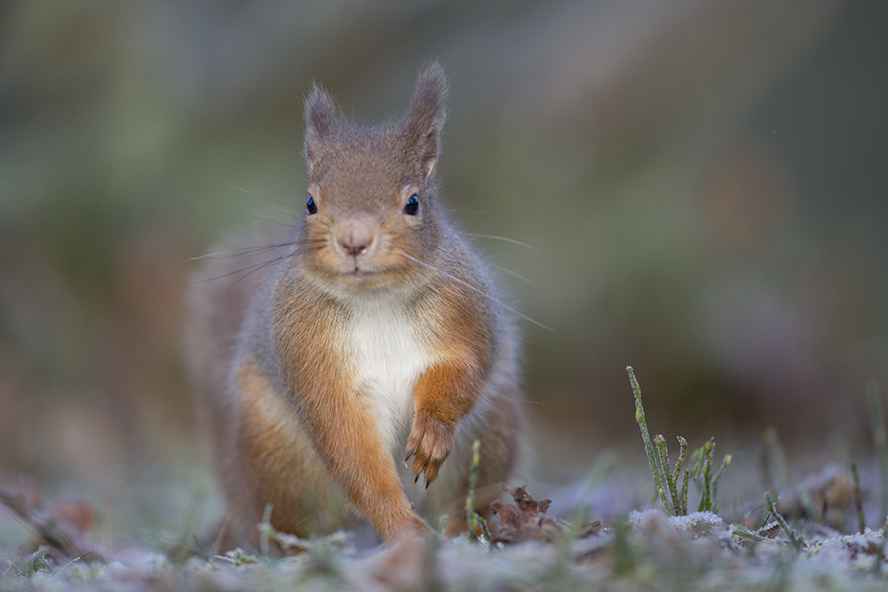 SQU8895 Red squirrel
