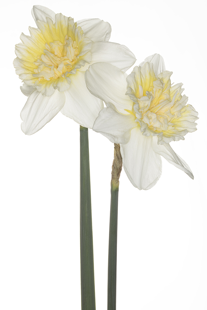 Narcissus 'Ice King'