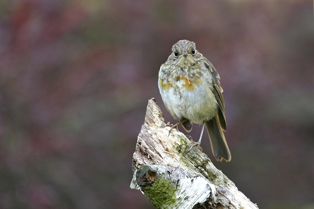 ROB0963 Robin (juvenile)