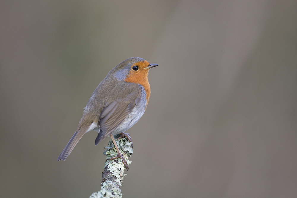 ROB5892 Robin