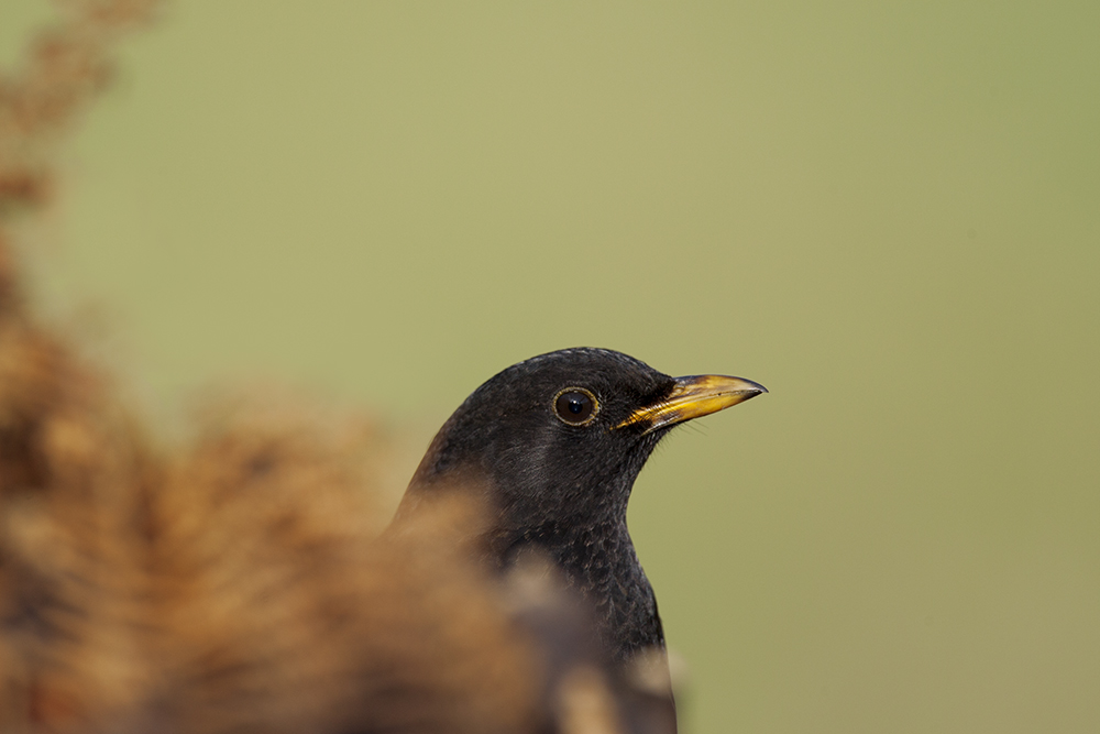 BLA2387 Blackbird