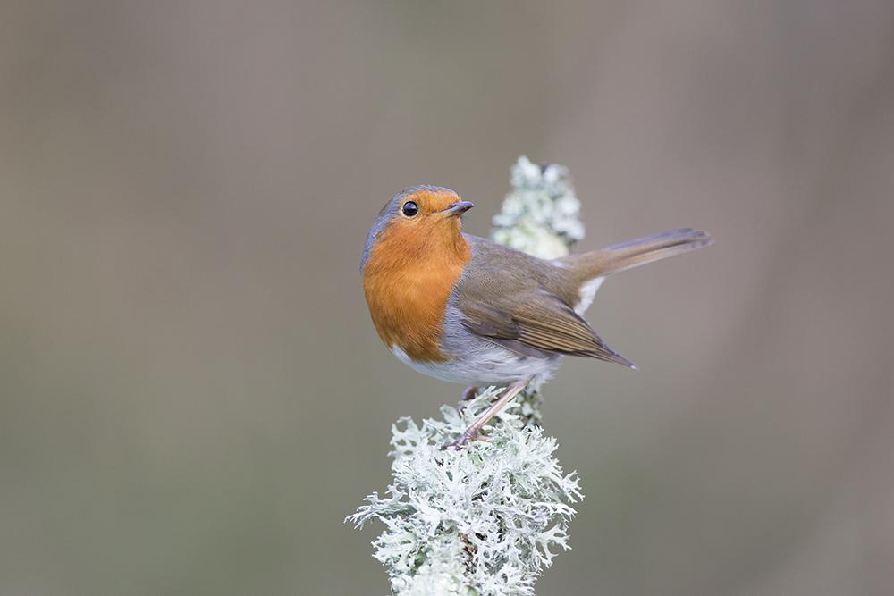 ROB5898 Robin