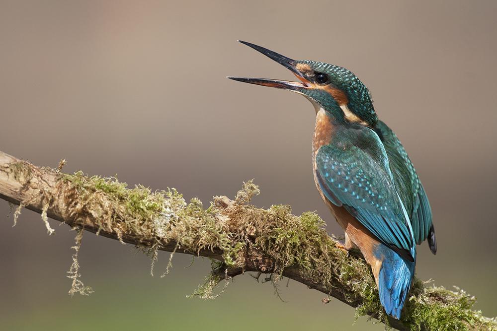 KIN6041 Kingfisher