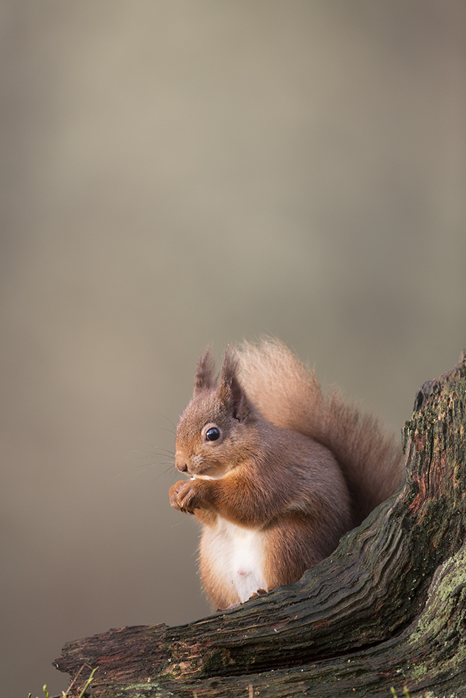 SQU3002 Red dquirrel