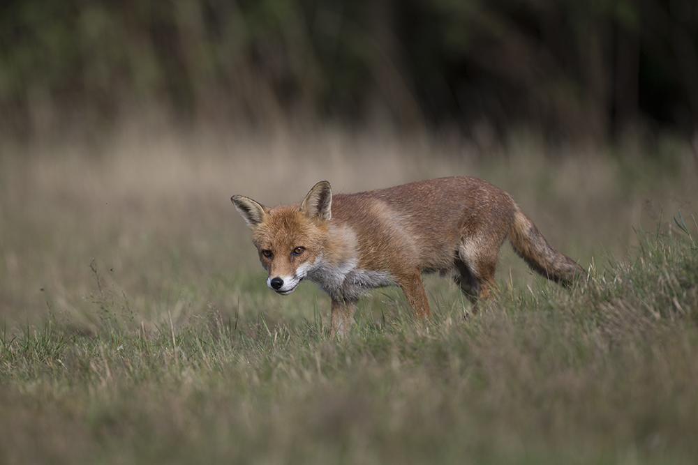 FOX1826