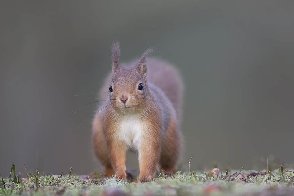 SQU8175 Red squirrel