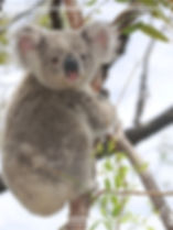Baby koala looks into your soul_edited.j