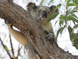 20051114 Koala 5g.JPG