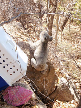 20091006 Koala Forts Hit by car 02.JPG