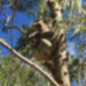 Happy koalas ☺️ _magneticislandkoalahosp