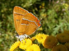 Nierenfleck-Zipfelfalter (weibchen)