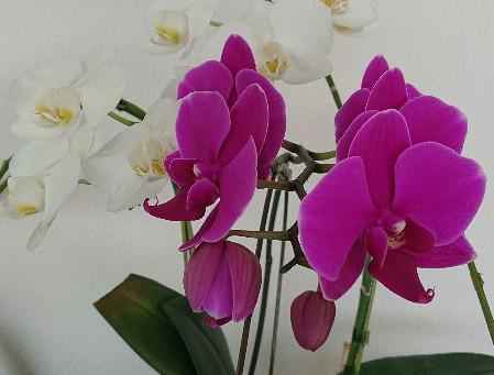 胡蝶蘭の再生⁉️