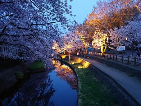 夜桜見物🌸