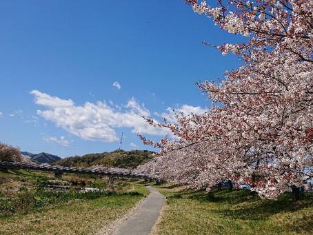 さくら🌸千本桜🌸