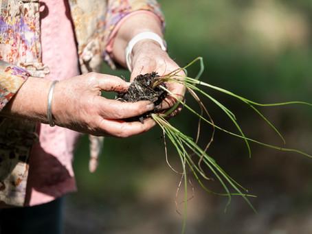 Planting midyini in Parramatta Park