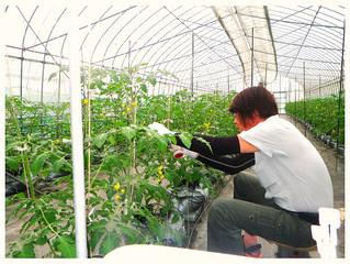 すくすくと育つミニトマト