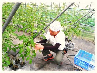 トマトの実がいよいよ(*^_^*) 稲も育って(^_^)/