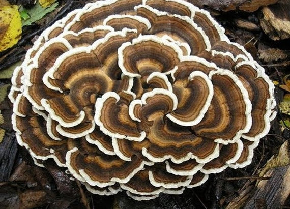 Medicinal Fungi