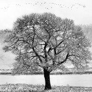 Shubie Tree Drawing