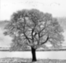 Shubie Tree print web.jpg